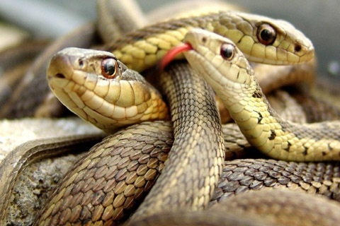 Over 70 snakes seized from Pune flat, 2 arrested