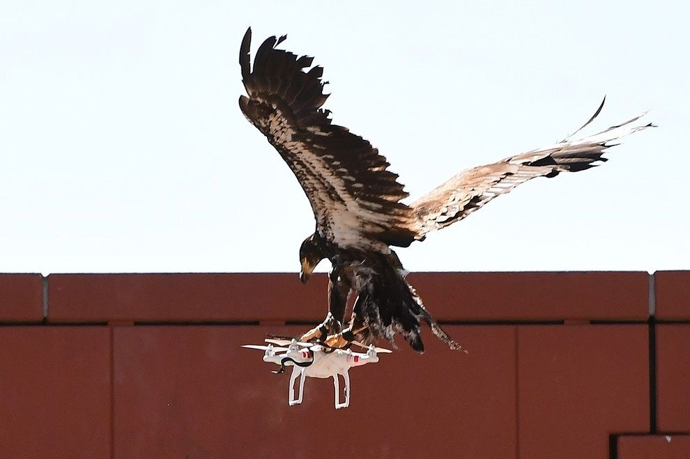 A trained young eagle attempts to catch a drone during a demonstration organised by the Dutch police as part of a programme in Ossendrecht