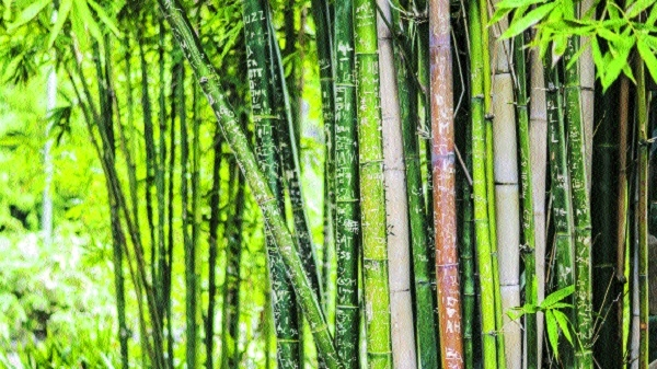 Declare bamboo as priority sector for development: Recommends committee