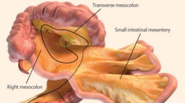 Brand-new organ identified in human body