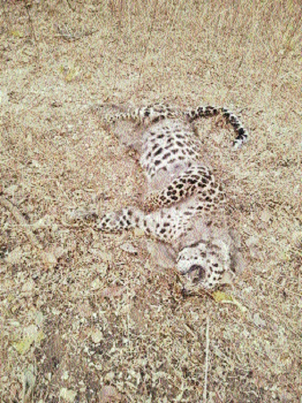 Leopardess dies in territorial fight with tigress in Kondhali