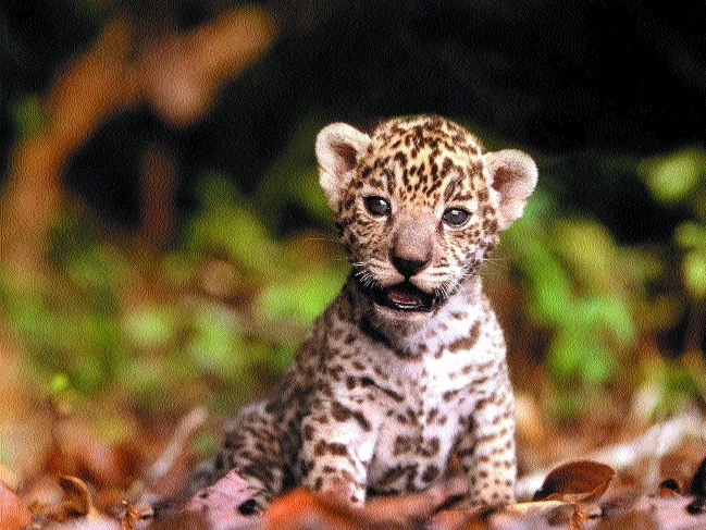 Orphaned leopard cub dies at Van Vihar