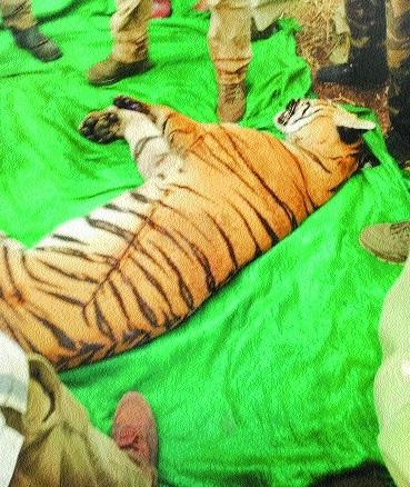 Man-eater tigress dies of electrocution