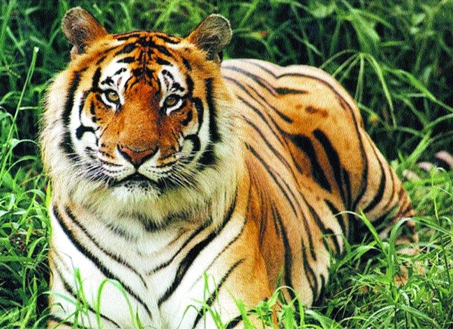 Tiger kills 9-year-old tribal boy in Budhni forest