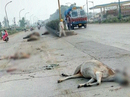Truck crushes 16 stray cattle