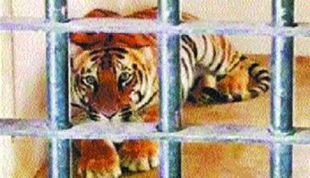 Forest Deptt for killing of menacing tigress