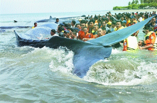 Rescuers push whale Kareng beach in Aceh Indonesia