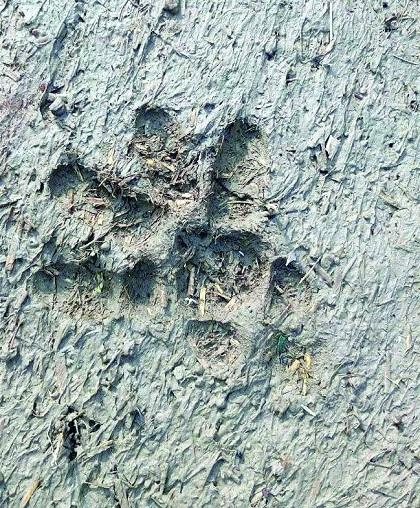 Tigress active in Itkhedi area