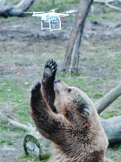 A brown bear in a shelter trying to catch a quadrocopter drone.jpg