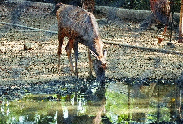 Black Buck dies of extreme scorch in Maharajbag Zoo