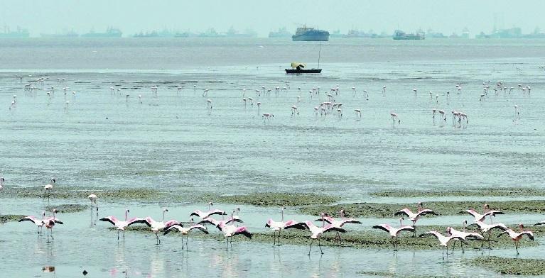 A group of flamingos Sewri Jetty in Mumbai.jpg