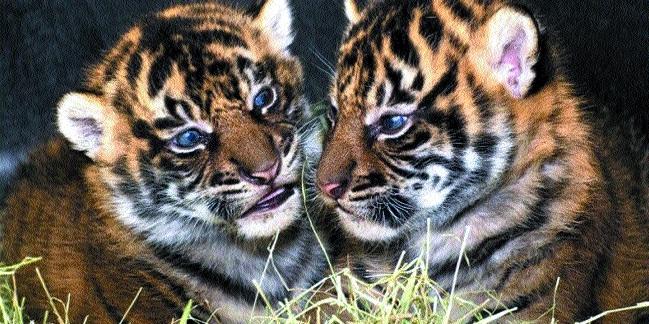 NTCA team visits BTR to probe tiger cubs' death