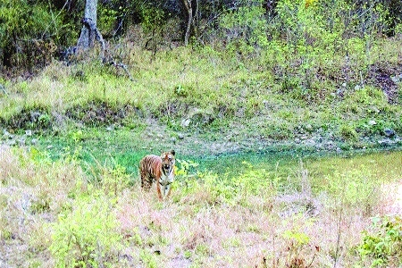 27 tigers sighted in TATR buffer zone: Waterhole census