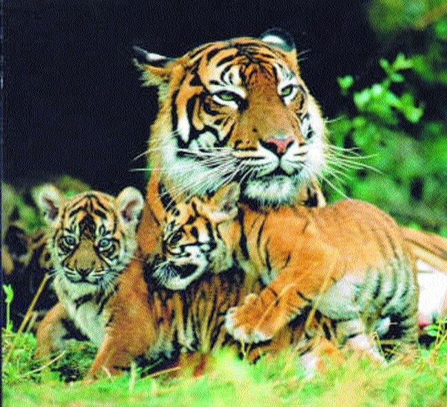 Panna tigress 213-22 gives birth to two cubs