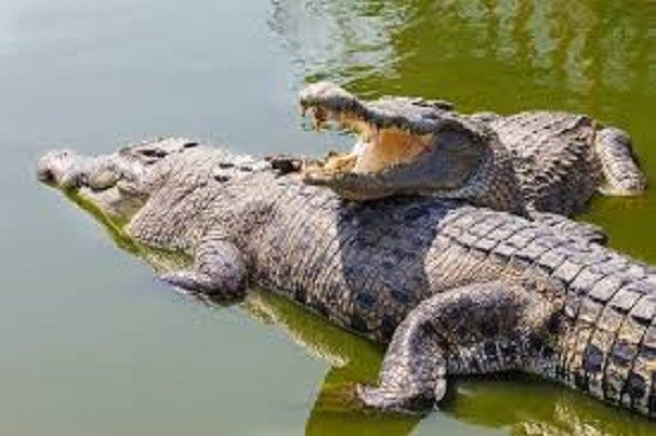 Forest Deptt to warn people against crocodile