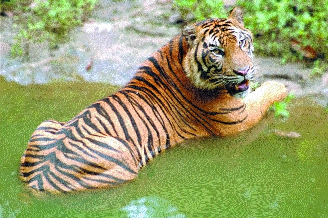 Forest Deptt to map tigers through GIS