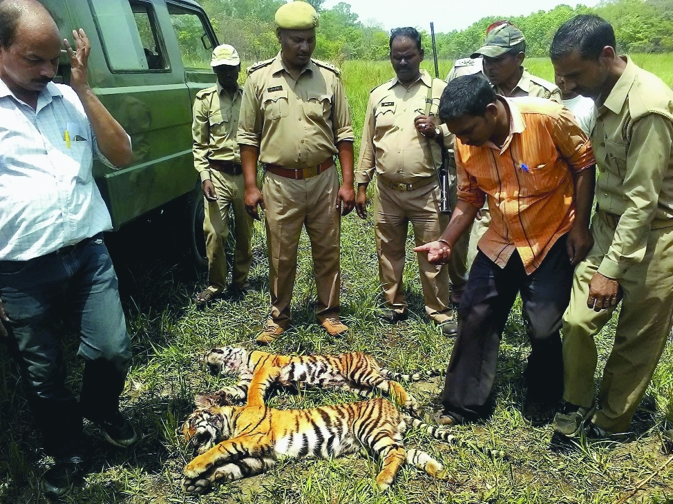 Carcasses of two tiger cubs found in Pilibhit