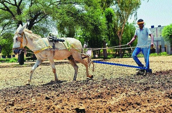 a farmer uses donkey for ploughing at NRC.jpg