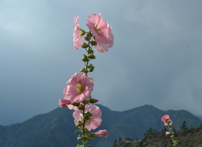 Flowers blooming in the Himalayas