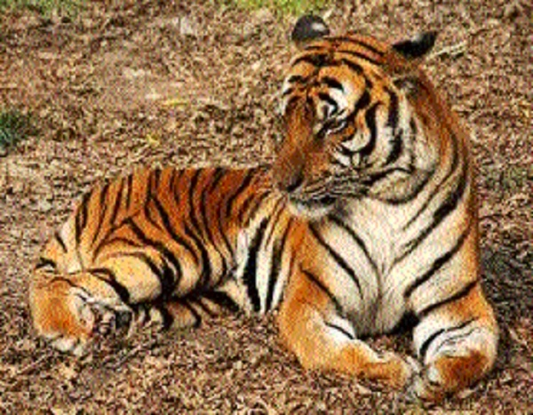Forest Deptt to identify big cats in non-conserve areas