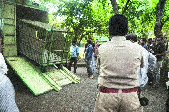 Maharajbag tigress shies away from cage