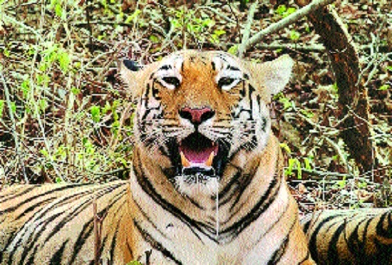 Forest Deptt forced to withdraw 'Shoot at Sight' order against tigress