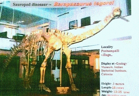Sauropod from Sironcha in Kolkata museum