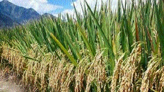 Revival of monsoon salvages paddy crop