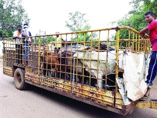 DMC gears up to take action against stray cattle roaming on roads