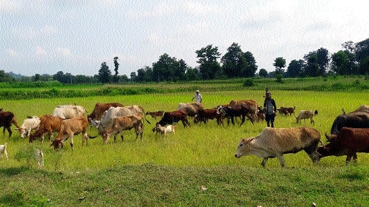 Farmers make cattle feed on standing crops