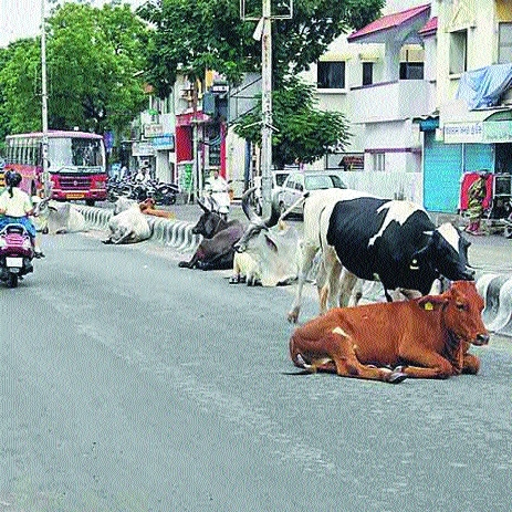 Can corporators be made responsible for cattle menace in their wards?