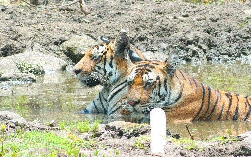 Night patrolling safari to begin at Surevani in Pench from Oct 15