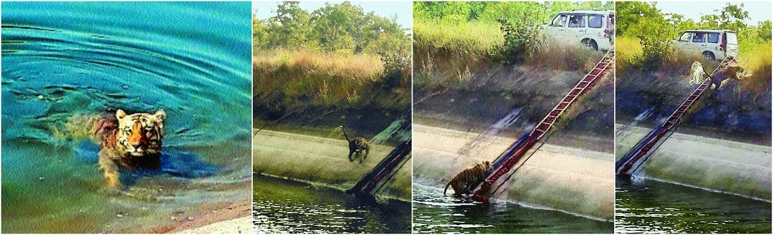 'Jaichand' rescued from Gosikhurd main canal