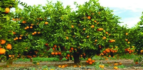 120 tonnes of Nagpur oranges to be exported to Dubai