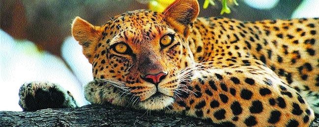 Leopard kills three children in three days in Chhindwara district
