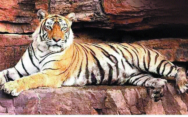 Forest Deptt deploys 30,000 staff for tiger estimation