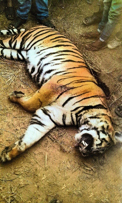 Tigress dies in territorial fight