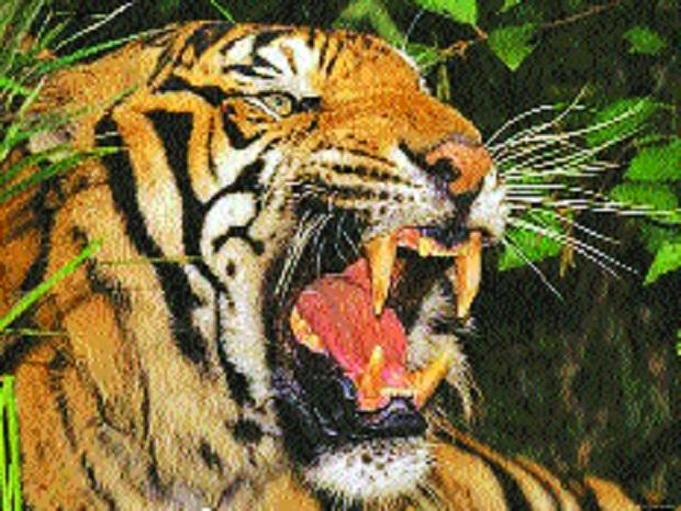 Shoot-at-sight order issued against menacing Yavatmal tigress