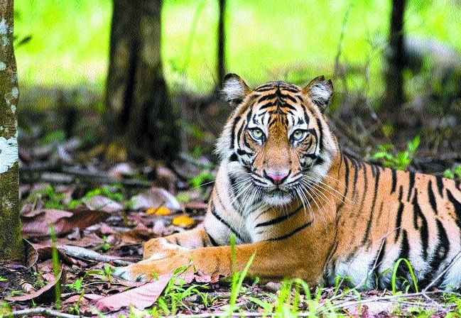 Tiger conservation plan delayed due to lack of funds