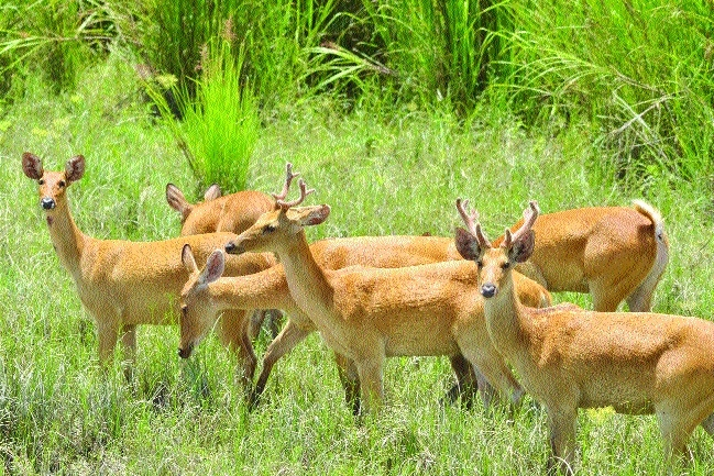 Van Vihar witnesses rise in number of swamp deer