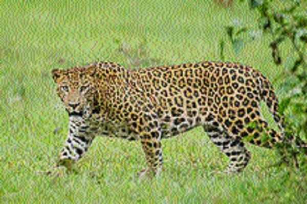 Leopard kills girl in Chhindwara