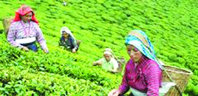 Exporters express worry over falling prices of tea in international markets