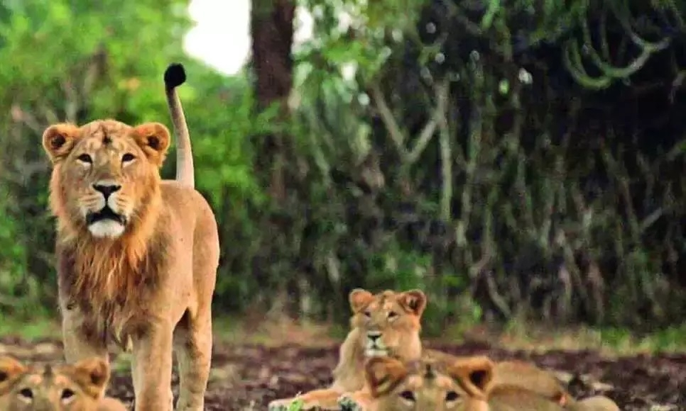 23 lions die of CDV, PPRV in Gir Forest, C'garh on alert