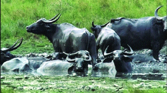 Forest Deptt to introduce Assam's wild buffalo in Kanha