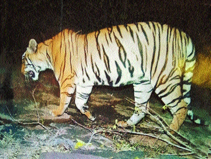 HC refuses to modify shoot-at-sight order against problem tigress
