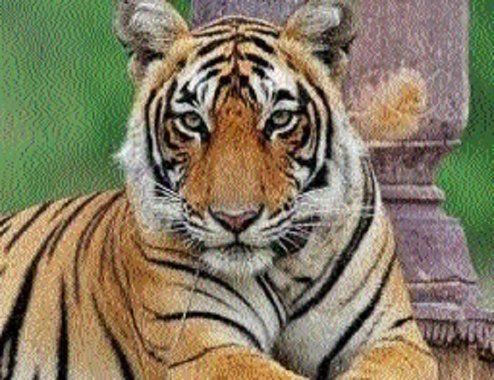 Forest Deptt in mission mode as tigress' pugmark seen in Mendora