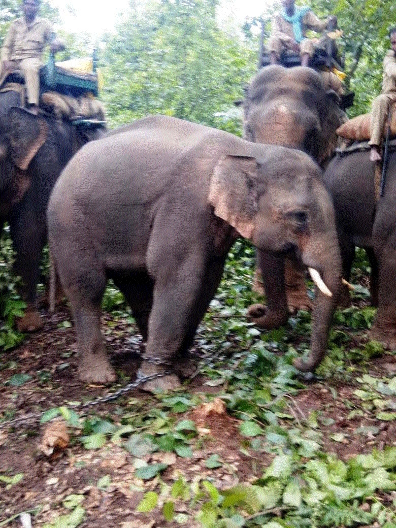 High Court seeks reply from MP Forest Deptt on captive elephants