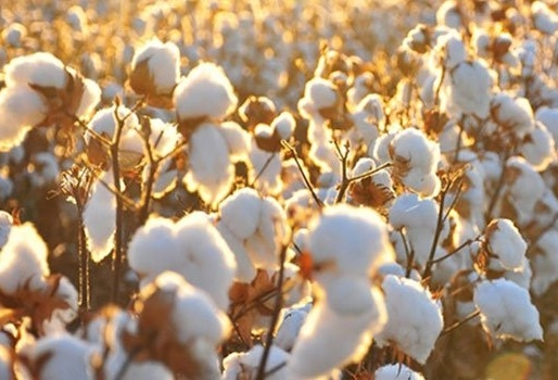 Mah fines MNCs, others Rs 1,200 crore for supplying inferior BT cotton seeds