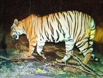 State Govt, NTCA form separate panels to probe T1 tigress' killing