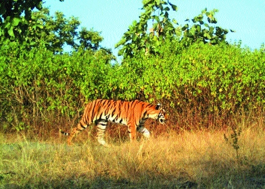 WII team arrives, to join search operation for T1 tigress' cubs